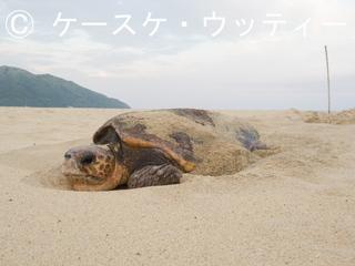Ⓒ 縮小 2017年5月12日 鹿屋久島 いなか浜 アカウミガメ産卵 1.jpg