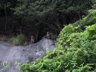 Ⓒ 縮小  2017年5月14日 ヤクザルの群れ 永田辺り 4.jpg