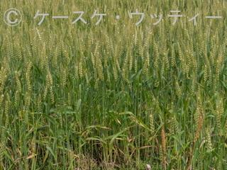 Ⓒ 縮小 ブ 2017年5月10日 福岡県 宗像市朝町 (神社すぐそばの小麦畑).jpg