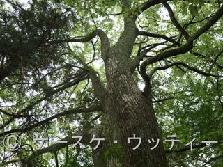 Ⓒ 縮小 ブ 2017年5月10日 福岡県 宗像市朝町 (神社の木).jpg