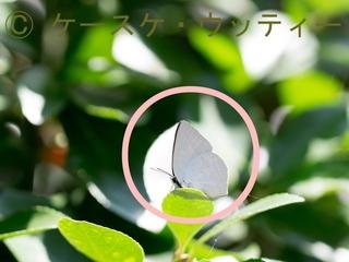 〇印 縮小 2016年10月7日 ウラギンシジミ の迷彩.jpg