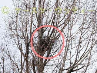 〇印 縮小 2017年3月7日 公園の木にカラスの巣.jpg