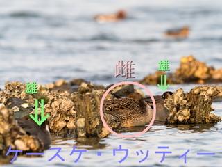 〇印 ♂♀ 縮小  2017年4月2日 オナガがモ 休息.jpg