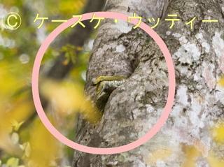 〇印 トリミング 縮小 2016年10月24日 アオゲラの迷彩.jpg