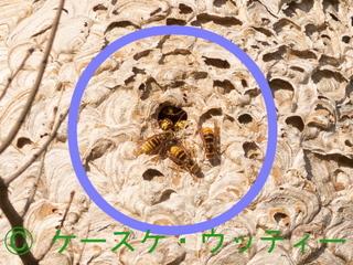 〇印 トリミング 縮小 2016年10月27日 キイロスズメバチ と巣.jpg