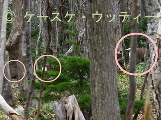 〇印 トリミング 縮小 2016年11月13日 エゾシカ 森の中を移動.jpg