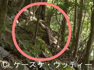 〇印 トリミング 縮小 2017年5月14日 ヤクシカ 2 西部林道.jpg