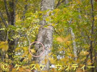 〇印 縮小 2016年10月24日 アオゲラの迷彩.jpg