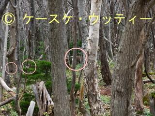 〇印 縮小 2016年11月13日 エゾシカ 森の中を移動.jpg