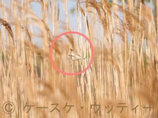 〇印 縮小 2017年4月5日 オオジュリン ♀.jpg