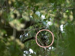 〇印 縮小 ブ ★ 2017年6月7日 サンコウチョウ 営巣 1.jpg