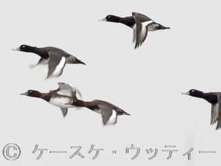 トリミング 2016年10月19日 冬鳥 スズガモ ※.jpg