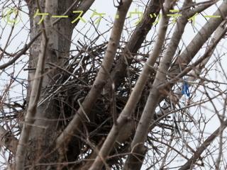 トリミング 縮小 2017年3月7日 公園の木にカラスの巣.jpg