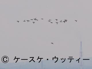 トリミング 縮小 2017年4月3日 渡り鳥(東京湾の風景 スズガモ).jpg