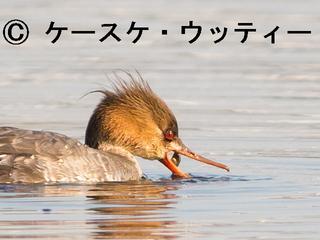 トリミング 縮小 2017年4月4日 ウミアイサ ♀ カニを食べてる.jpg