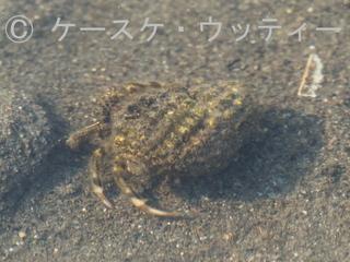 トリミング 縮小 2017年4月5日 ホンヤドカリ.jpg