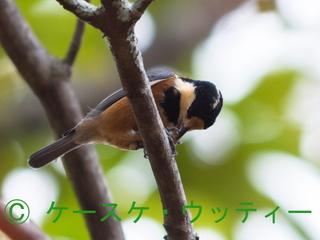 トリミング 縮小 22016年10月27日 ヤマガラ の食事.jpg