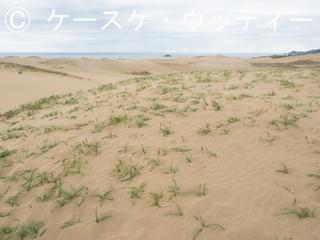 ブ 縮小 2017年5月5日  カヤツリグサ科 コウボウムギ群生 1.jpg