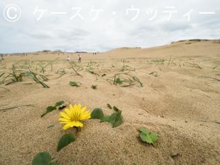 ブ 縮小 2017年5月5日 砂丘に咲く花【ハマニガナ】.jpg