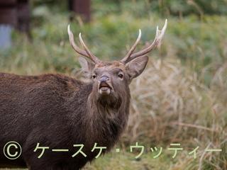 縮小 2016年11月13日 エゾシカ フレーメン反応.jpg