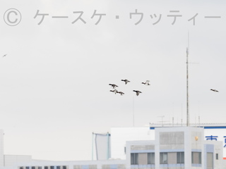 縮小 2016年10月19日 冬鳥 スズガモ ※.jpg