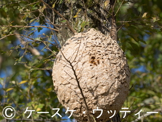 縮小 2016年10月27日 キイロスズメバチ と巣.jpg