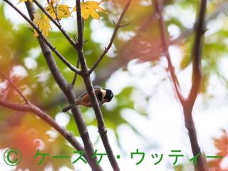 縮小 2016年10月27日 ヤマガラ の食事.jpg
