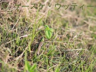 縮小 2016年10月2日 トノサマバッタ の迷彩.jpg