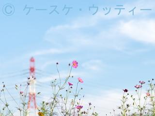 縮小 2016年10月2日 秋空とコスモス.jpg