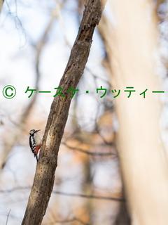 縮小 2016年11月16日 エゾアカゲラ ウトナイ湖.jpg