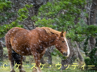 縮小 2016年11月9日 吹雪の日 寒立馬.jpg