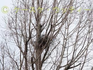 縮小 2017年3月7日 公園の木にカラスの巣.jpg