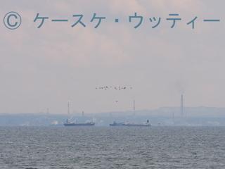 縮小 2017年4月3日 渡り鳥(東京湾の風景 スズガモ).jpg