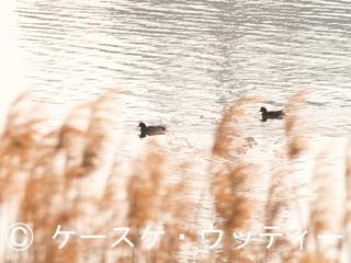 縮小 2017年4月4日 ヒドリガモ.jpg
