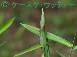 縮小 ブ 2017年5月25日 アカサシガメ 1.jpg