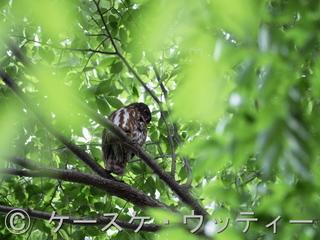 縮小 ブ 2017年5月27日  アオバズク.jpg