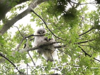 縮小 ブ ● 2017年5月27日 フクロウ 雛.jpg