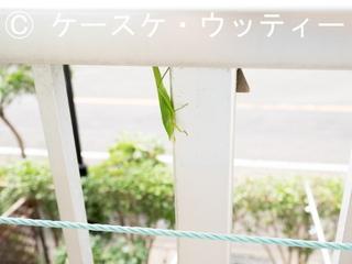縮小 ブログ 2016年7月18日 クビキリギリス.jpg
